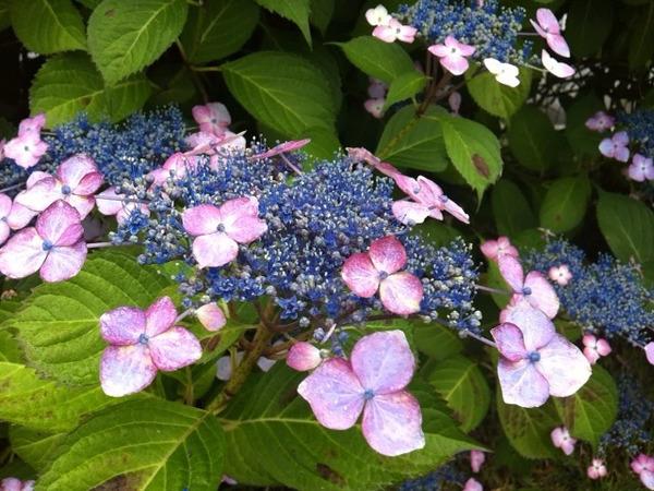 6月は紫陽花の季節